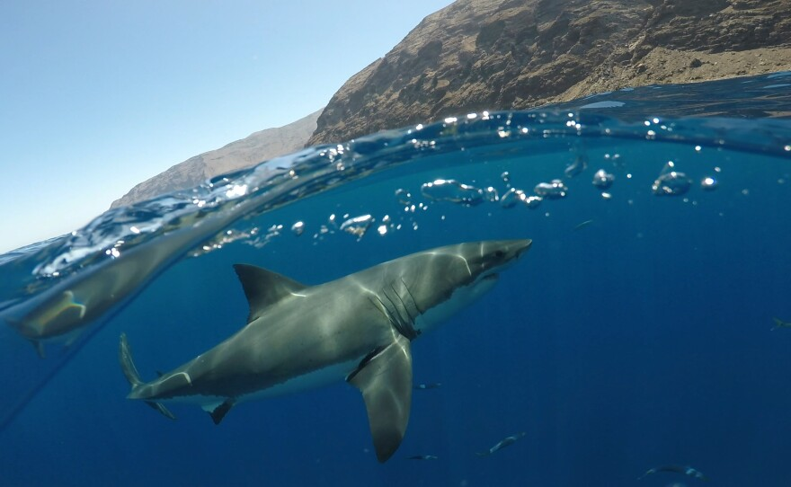 Undated photo of a juvenile white shark swimming near land.