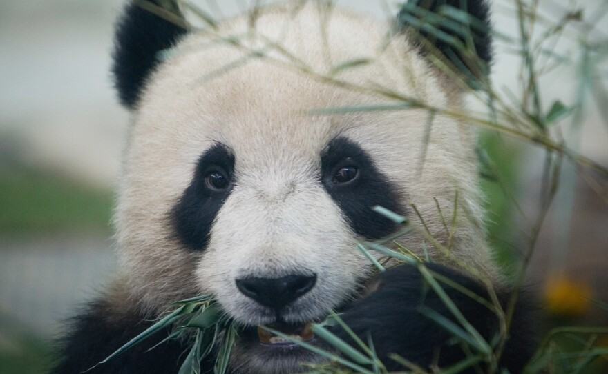 A Giant panda enjoys bamboo at the Beijing Zoo during the first day of the public display on June 5, 2008 in Beijing, China.