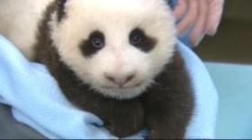 San Diego Zoo's newest baby panda