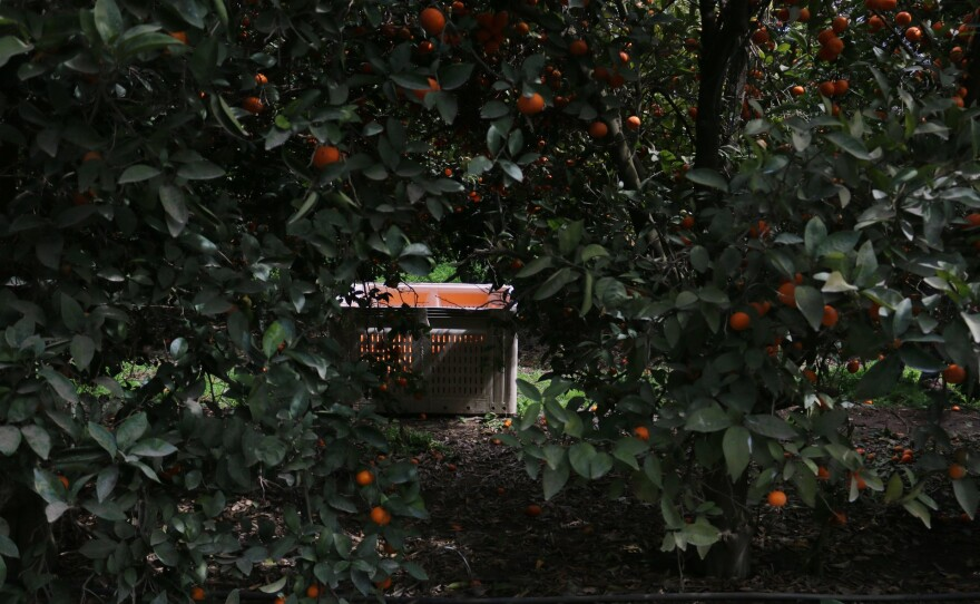 For every large plastic bin he can fill with mandarins, Carrillo will make $53, he said.