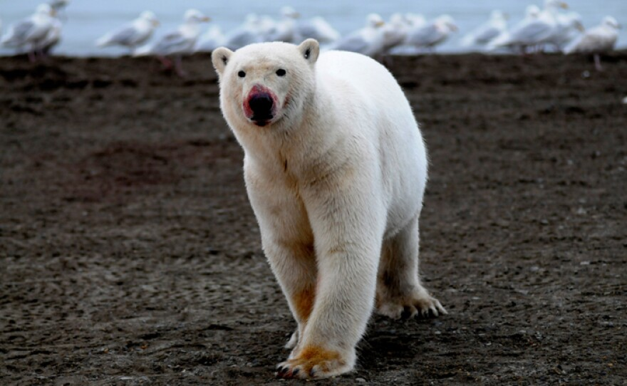Lone bear with bloodied nose on Kaktovic shore, Alaska.