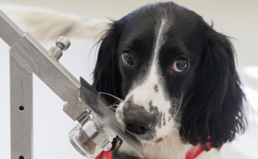 Freya, a springer spaniel, is in training to detect malaria parasites in sock samples taken from children in Gambia. Two canine cohorts were used in a study on malaria detection.