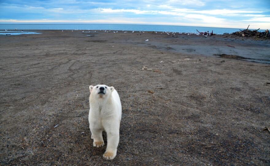 Polar bear at Kaktovic bone pile, Alaska.