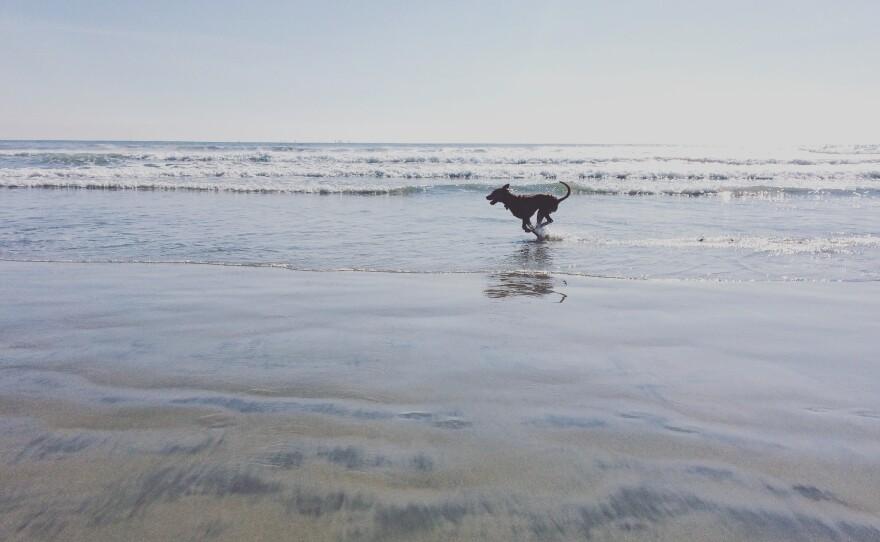 A dog runs through the water as the waves come in at the Coronado dog beach, Feb. 13, 2015.