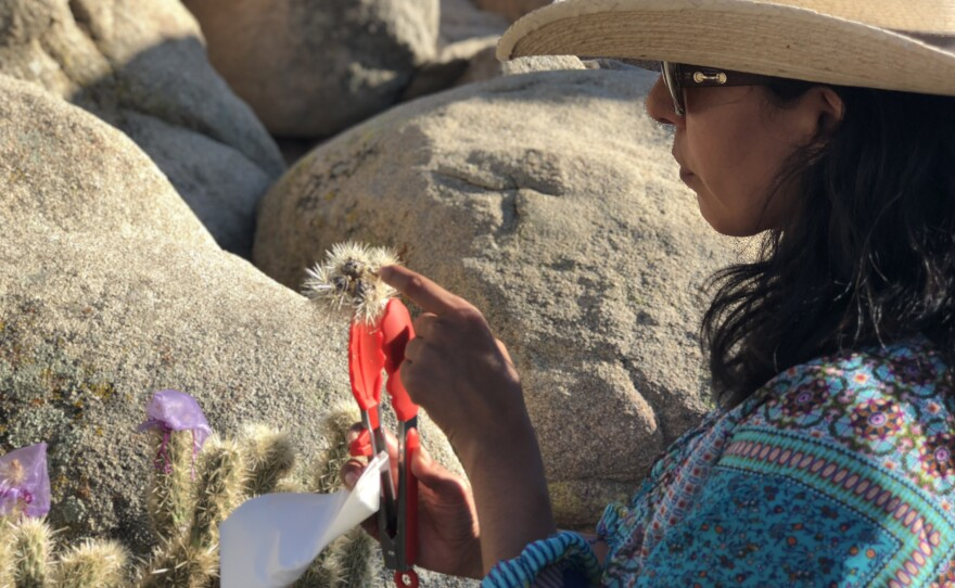 Lluvia Flores-Renteria inspects a dried cholla fruit, Aug. 2, 2018.