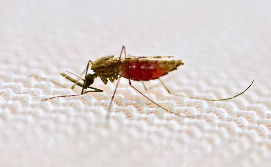 A female Anopheles gambiae mosquito feeds on human blood through a mosquito net.