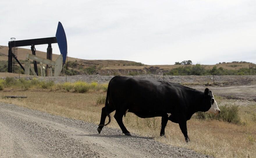 In this file photo taken June 1, 2011, a cow walks near oil pump jacks in Santa Maria, Calif.