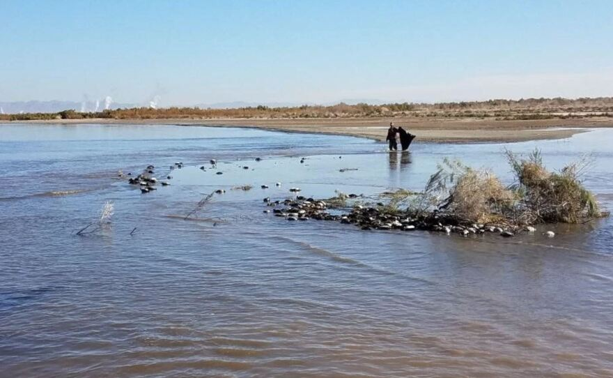 Man picking up dead birds that succumbed to avian cholera at the Salton Sea in January in this undated photo.
