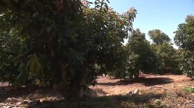 An avocado grove in Fallbrook, part of the so-called Avocado Highway, June 7, 2021.