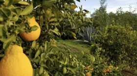 Citrus at organic farm Rancho Del Sol in San Diego County is shown in this undated photo.