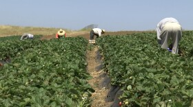 Farmworkers at the Yasukochi Family Farms in Fallbrook pick fruits and vegetables. May 27, 2021.