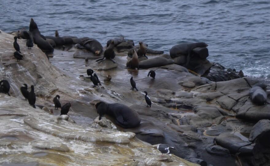 Seals, sea lions and sea birds inhabit the rocks along the sandstone cliffs at La Jolla Cove.