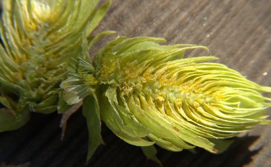 Close-up photo of lupulin, the yellow substance found on the flowers of the female hop plant.