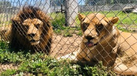 A pair of lions are pictured at the Lions Tigers & Bears big cat animal rescue in this undated photo.