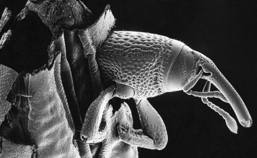This granary weevil has set up shop inside a kernel. Even without wings, these stealthy stowaways — with the help of humans — have managed to infest grains all over the world for thousands of years.