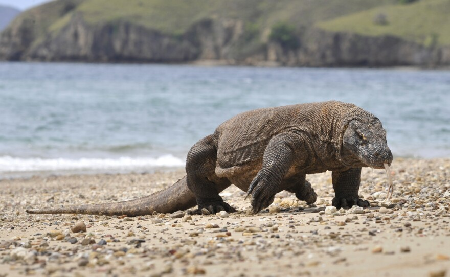 In this photograph taken in 2010, a Komodo dragon prowls the shore of Komodo island, the natural habitat of the world's largest lizard.