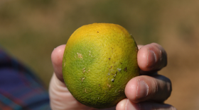 An orange with huanglongbing, known as citrus greening disease because it causes fruit to stay green and not fully ripen, is shown in this undated photo.