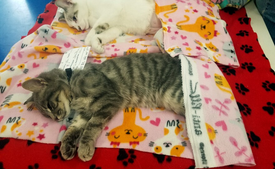Cats sleep off their anesthesia after being spayed or neutered at the Feral Cat Coalition's clinic, Nov. 6, 2019.