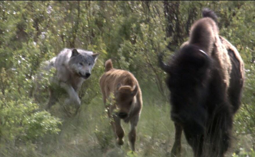 Wolf attacking buffalo calf.