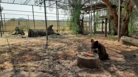 An orphaned bear cub at the San Diego Humane Society's Ramona Wildlife Center is shown in this undated photo.