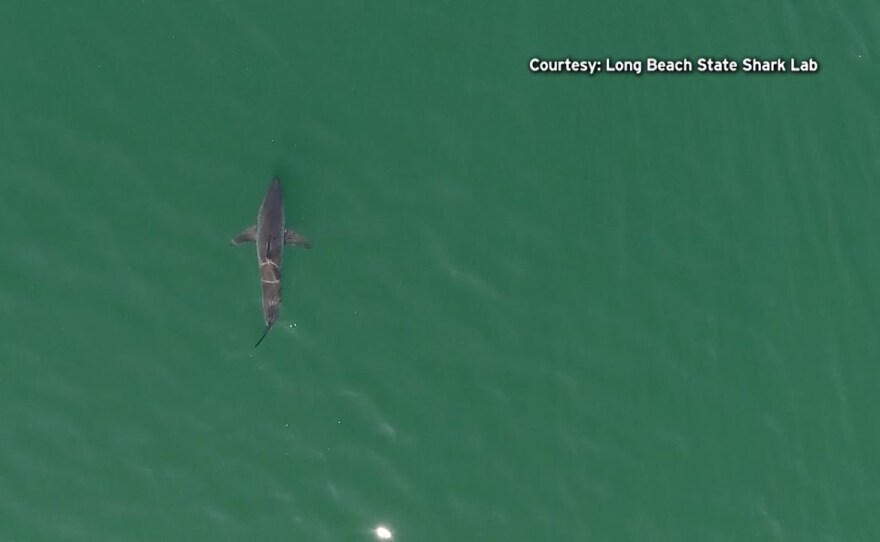 A shark swimming off the coast of Southern California in this undated photo from CSU Long Beach Shark Lab.