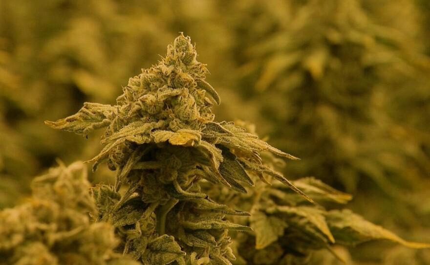 Marijuana bud at the OutCo Labs growing facility, May 9, 2019.