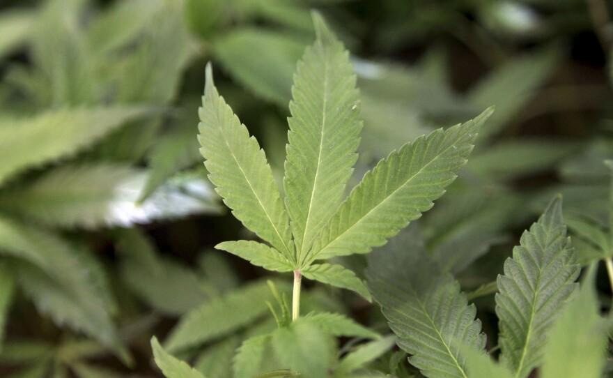 Medical marijuana clone plants are shown at a medical marijuana dispensary in Oakland, Feb. 1, 2011.