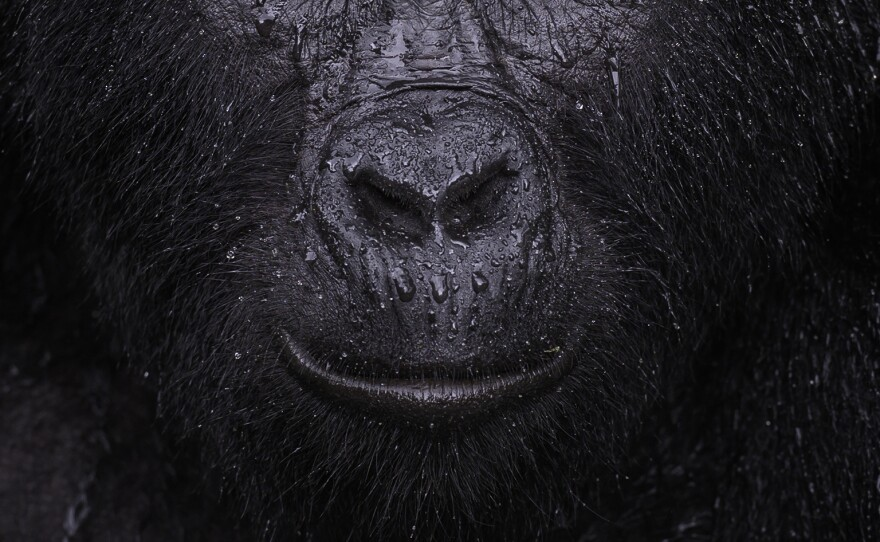 """<em>Reflection</em> by Majed Ali, Kuwait, Winner, Animal Portraits. Majed Ali glimpses the moment a mountain gorilla closes its eyes in the rain. Ali trekked for four hours to meet Kibande, an almost-40-year-old mountain gorilla. """"The more we climbed, the hotter and more humid it got,"""" Ali recalls. As cooling rain began to fall, Kibande remained in the open, seeming to enjoy the shower."""