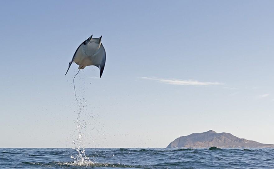 Mobula Munkiana in Cabo Pulmo National Marine Park, east coast of Mexico's Baja California Peninsula.