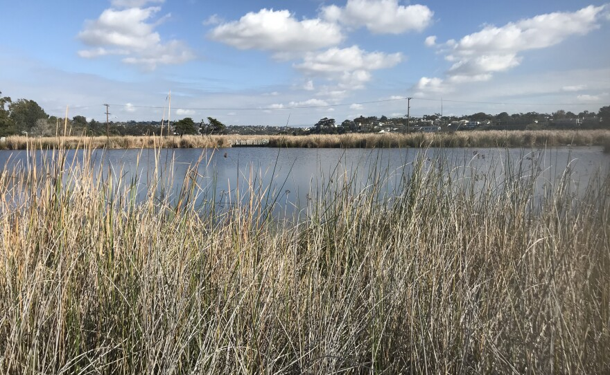 Cattails obscure the Buena Vista Lagoon in San Diego's North County on Jan. 26, 2018.
