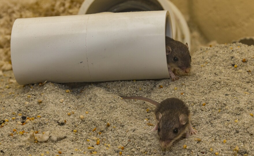 Pacific pocket mice, which make their homes underground, are about to be relocated into an area of Laguna Coast Wilderness Park in California, June 7, 2016.