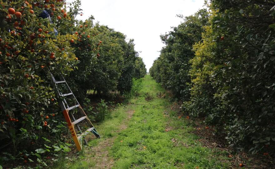A mandarin orchard west of Fresno.