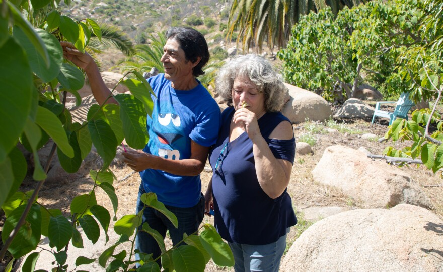 Cindy Luster smells a flower from a cherimoya tree on her specialty fruit farm in Fallbrook, June 17, 2020. She and farm manager Alfredo Gomez hand pollinate the cherimoya trees by hand.