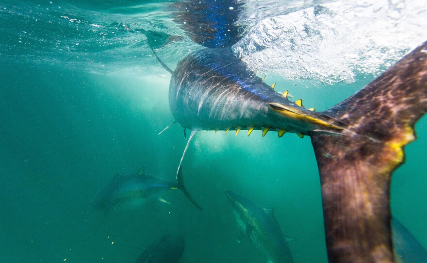 """A new study finds that tuna harvests, including of some species considered """"vulnerable,"""" have increased by an astonishing 1,000% in the last 60 years — a rate that some scientists warn is unsustainable."""