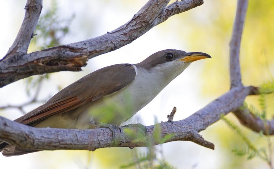 In this July 8, 2019, file photo provided by the United States Fish and Wildlife Service, shows a yellow-billed cuckoo.