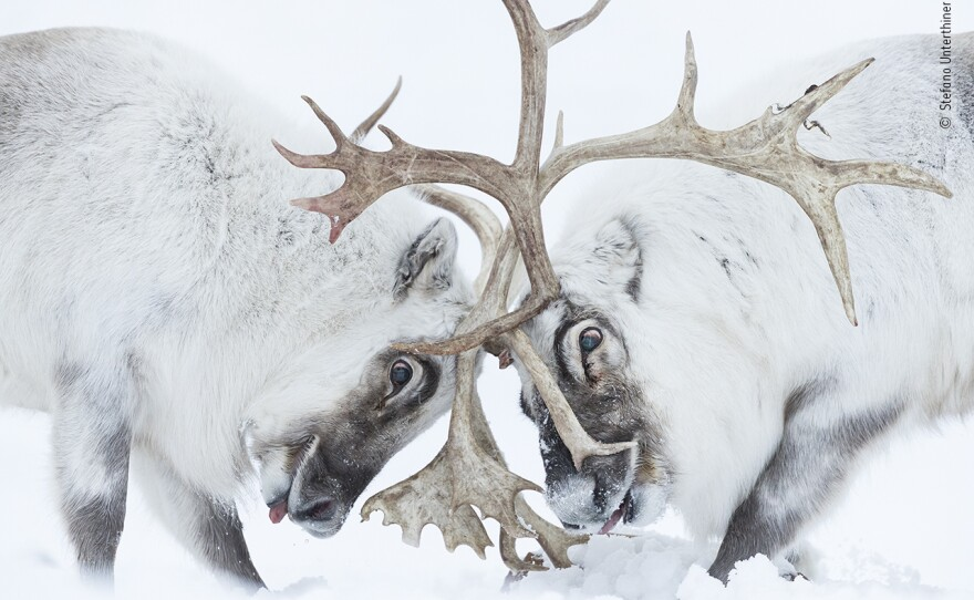 """<em>Head to head</em> by Stefano Unterthiner, Italy, Winner, Behaviour: Mammals. Stefano Unterthiner watches two Svalbard reindeer battle for control of a harem. Unterthiner followed these reindeer during the rutting season. Watching the fight, he felt immersed in """"the smell, the noise, the fatigue and the pain."""" The reindeer clashed antlers until the dominant male (left) chased its rival away."""