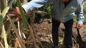 Narciso Hernandez Cuevas, 73, on his four-acre sugar farm in Zacatepec, Morelos in this undated photo.