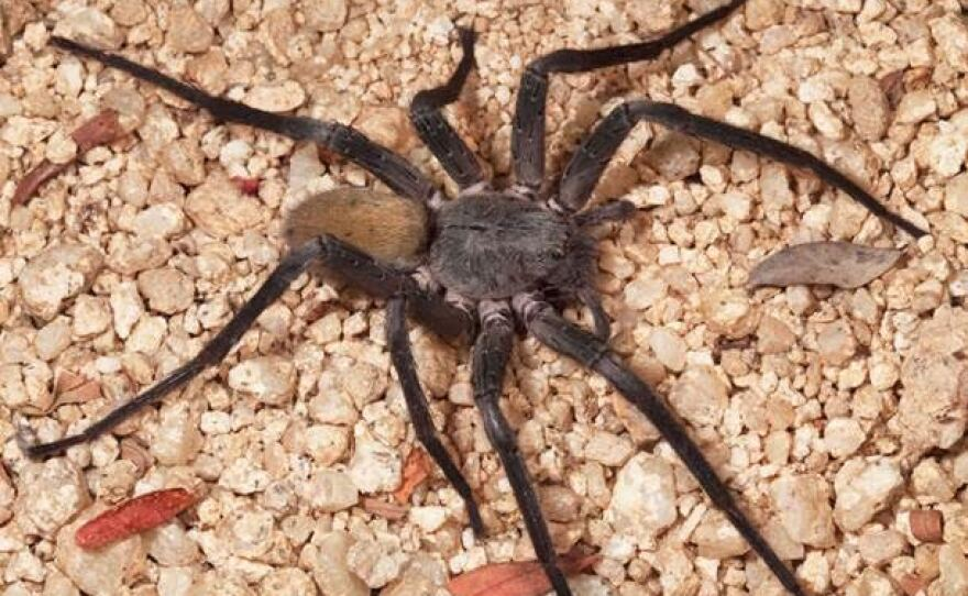 A new species of spider, Califorctenus cacachilensis, discovered by researchers at the San Diego Natural History Museum.