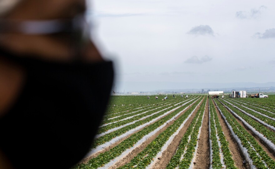 An essential worker wearing a face mask stands in a field of strawberries. In the distance, more workers pick on May 2, 2020.