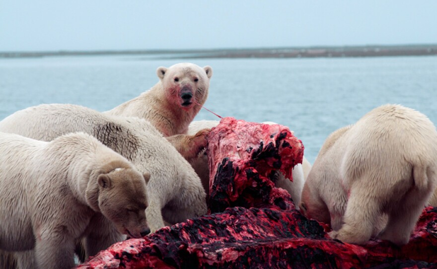 Polar bears gather to eat the fresh meat on the Kaktovic bone pile, Alaska. (foreground bear is collared with the U.S.G.S. tracking collars)