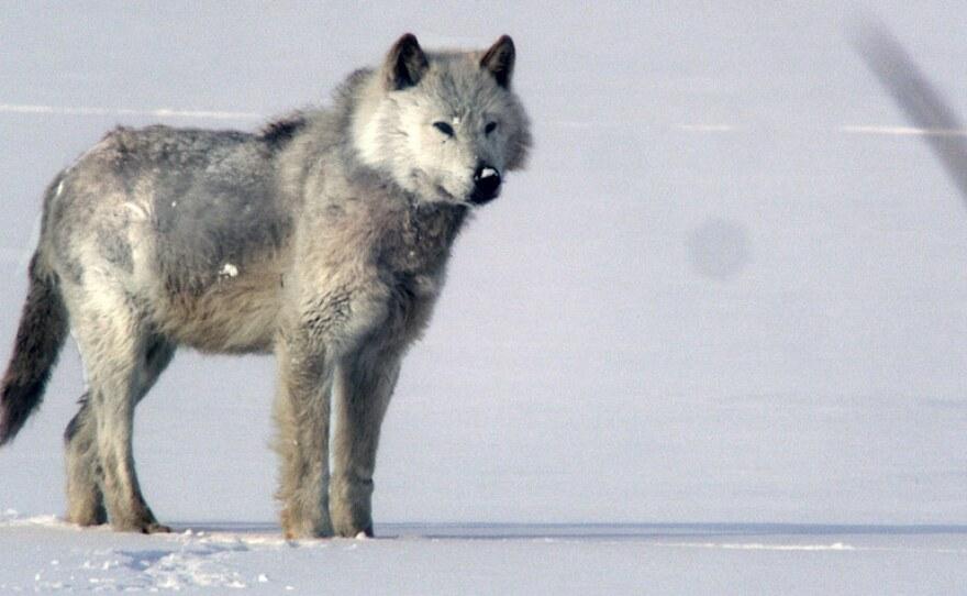Alpha male wolf on snow.
