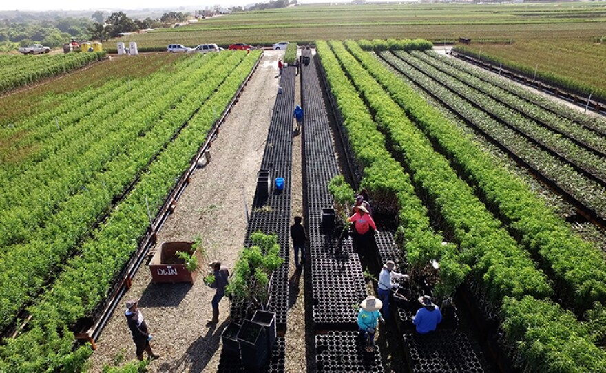 Aerial view of trees at Dave Wilson Nursery near Modesto, Calif., one of the largest growers of deciduous fruit, nut and shade trees in the United States.