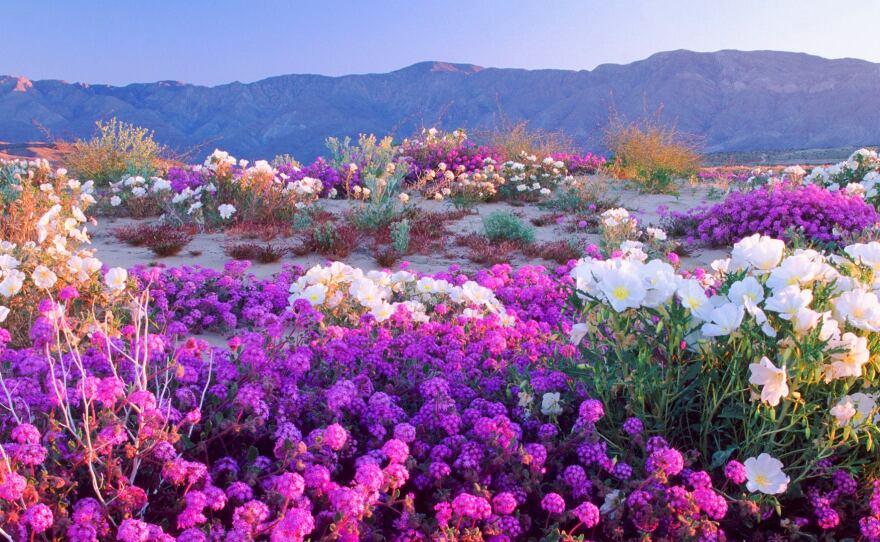 A field of Dune verbena wildflowers paints the Anza Borrego Desert floor.
