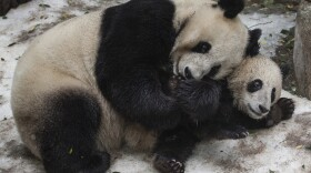 This undated photo shows Bai Yun and Xiao Liwu playing in snow during snow day at San Diego Zoo.
