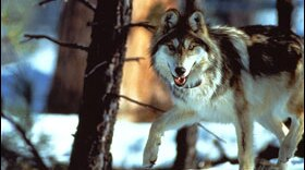 At last count only three breeding pairs of Mexican wolves lived in the wild, so inbreeding often occurs.