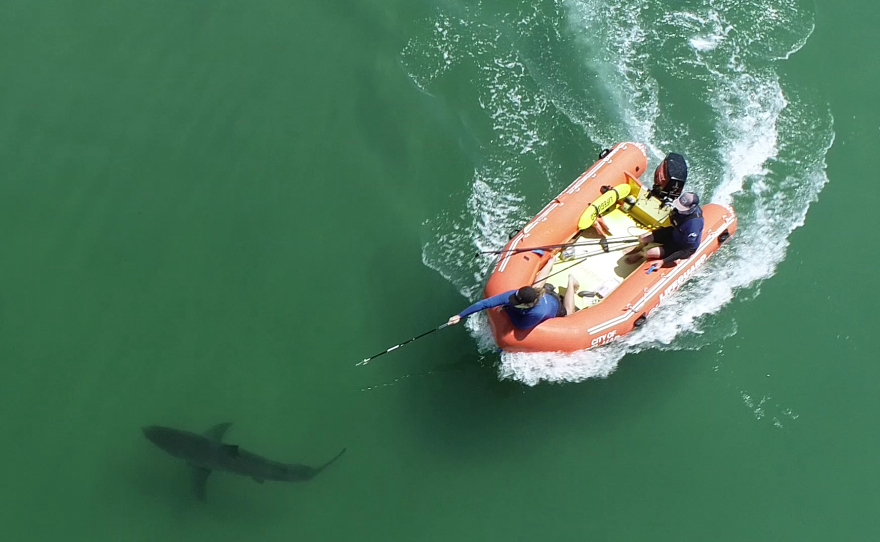 Undated photo of a shark being tagged in Del Mar by lifeguards. Photo courtesy of the Shark Lab at California State University Long Beach.