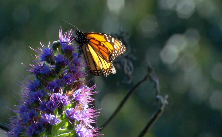 """A single butterfly on a purple flower. """"Butterfly Town, USA"""" focuses on the local habitat protection for the Sanctuary, but also on a larger goal: citizens working together to limit habitat loss due to climate change, deforestation and pesticides."""