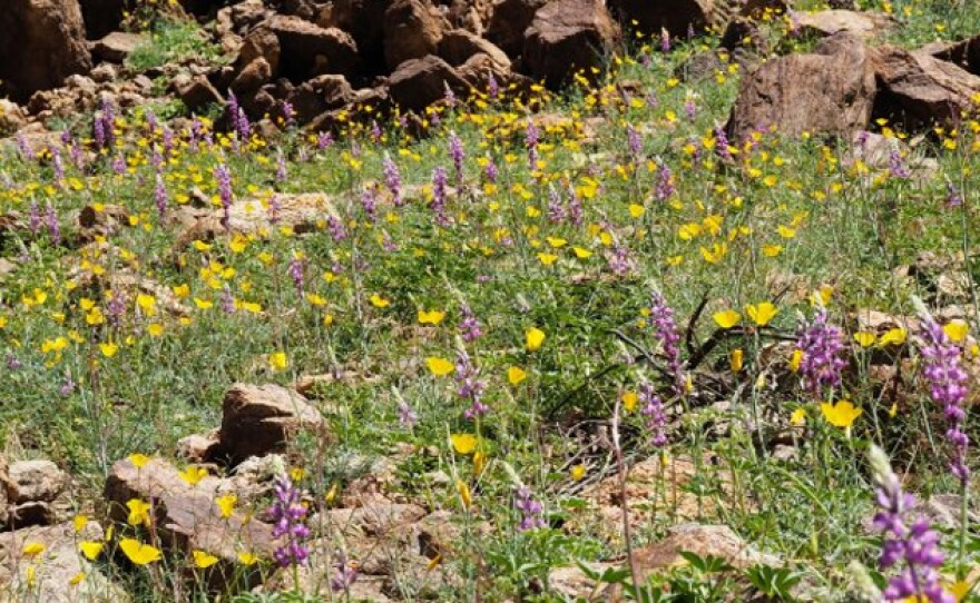 Parish's poppies and Arizona lupine wildflowers have bloomed in the western canyons of the Anza Borrego Desert, Feb. 2017.