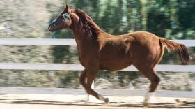 A horse gallops within a fenced enclosure at HiCaliber Horse Rescue in Valley Center on March 2, 2018.