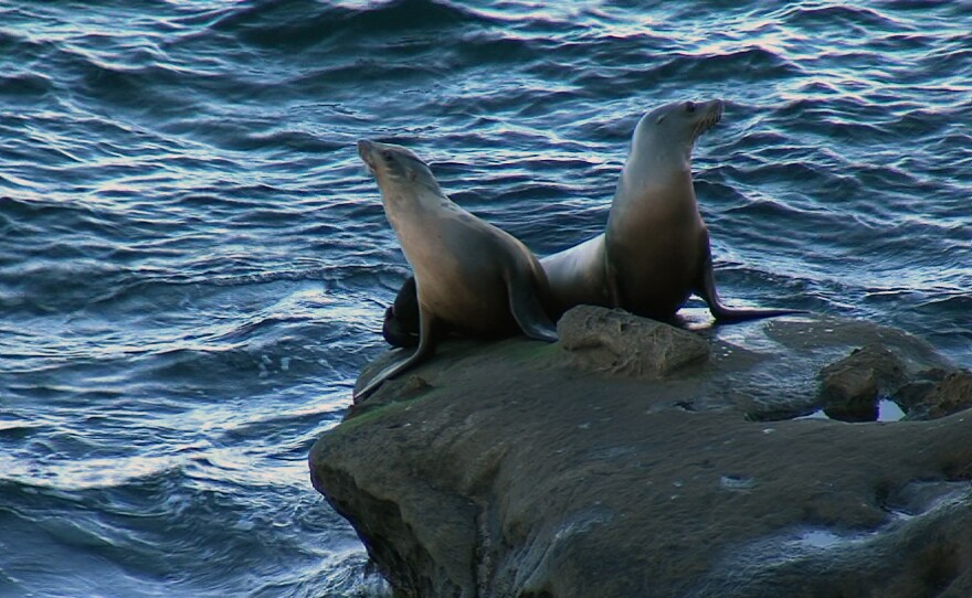 Two sea lions sit on the rocks in La Jolla Cove, Nov. 19, 2015.
